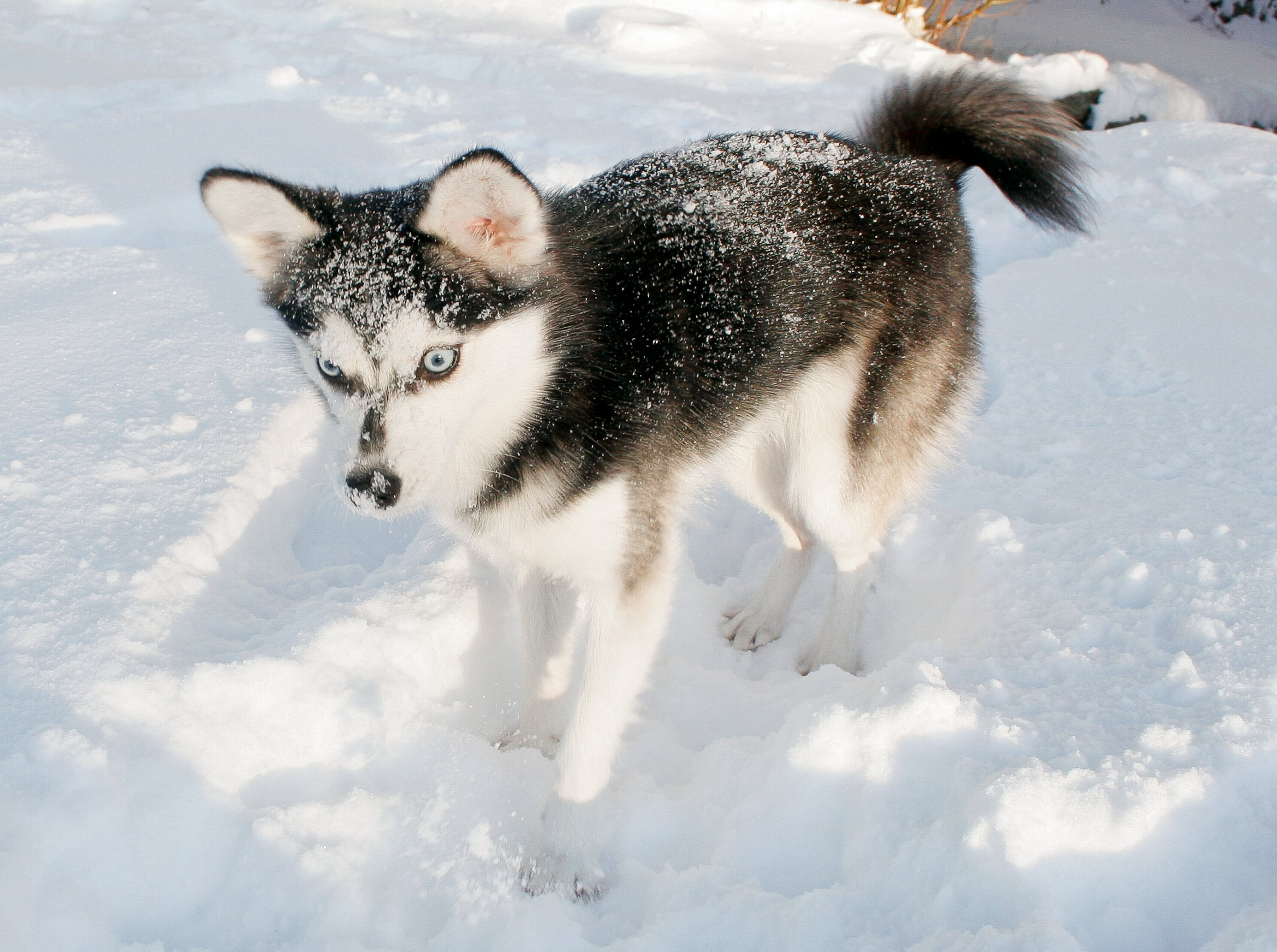 Alaskan Klee Kai Backgrounds