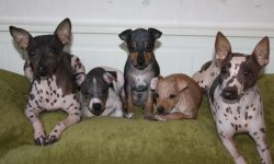 American Hairless Terrier Pictures