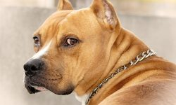 American Pit Bull Terrier Backgrounds