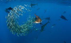 Atlantic sailfish Wallpaper