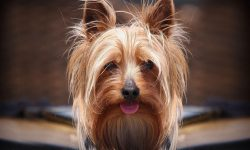 Australian Silky Terrier Wallpaper