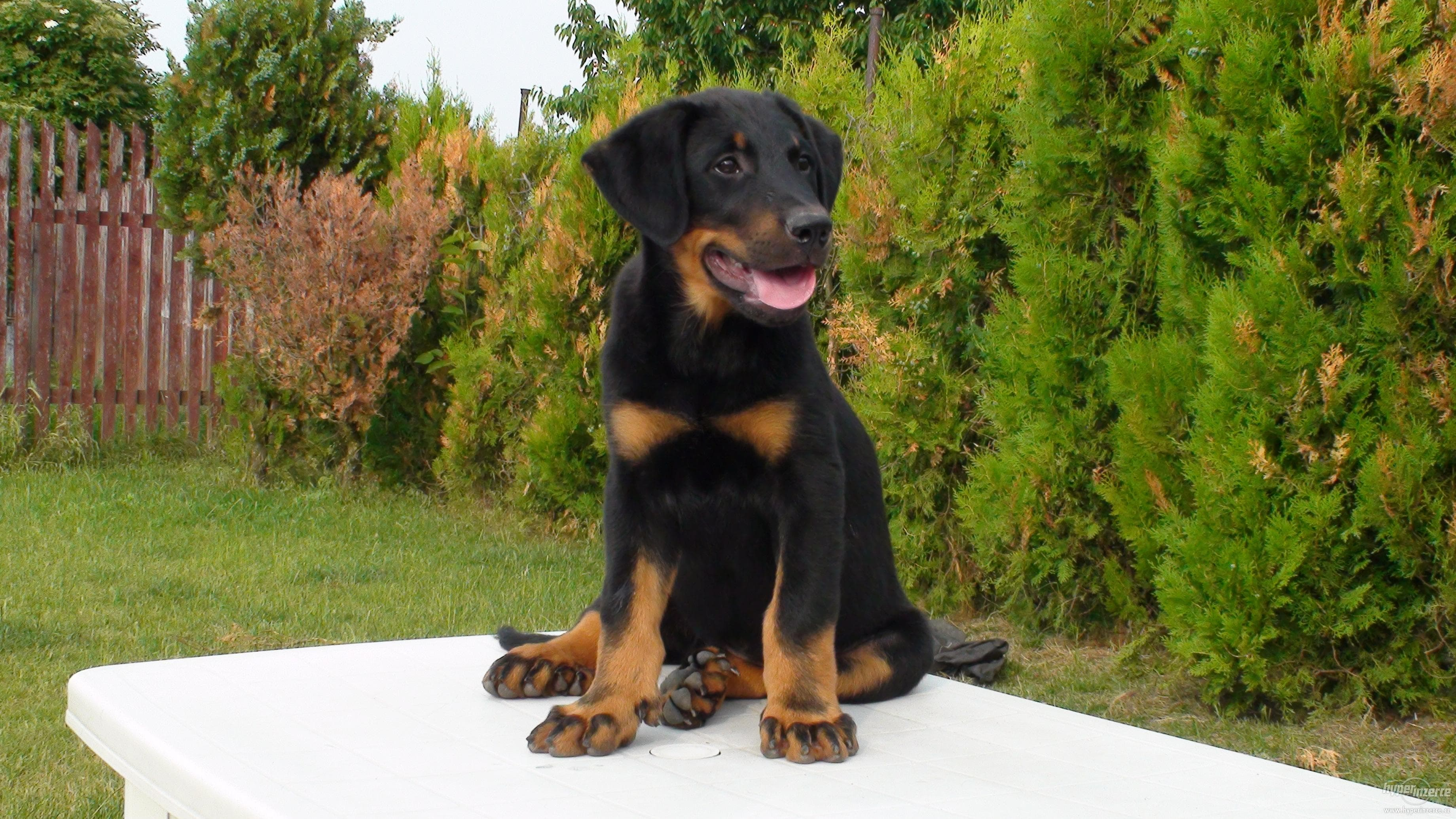 Beauceron Wallpaper