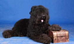 Black Russian Terrier Widescreen for desktop