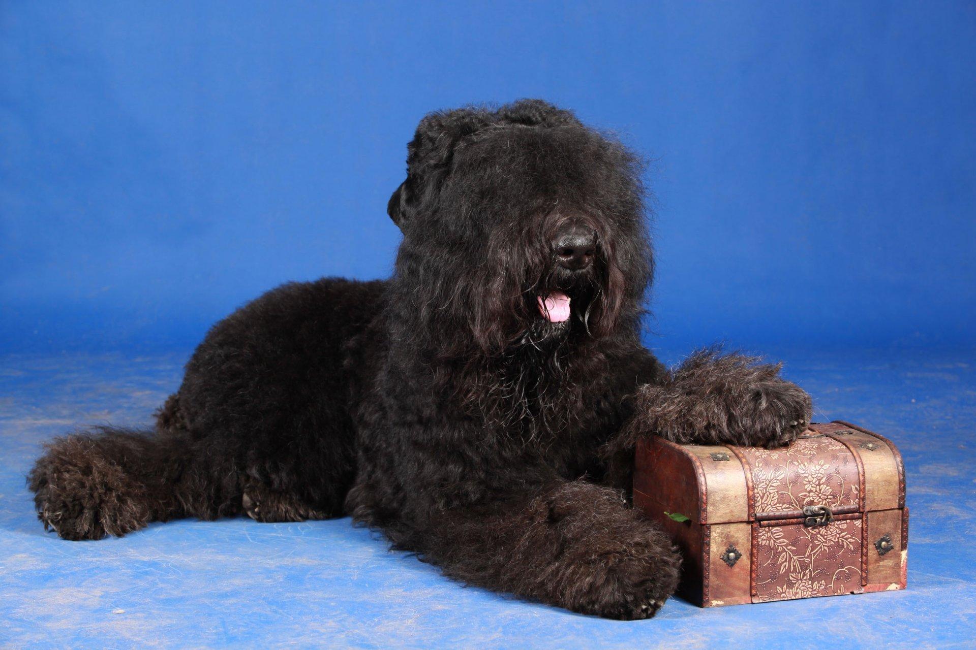 Black Russian Terrier Widescreen for desktop