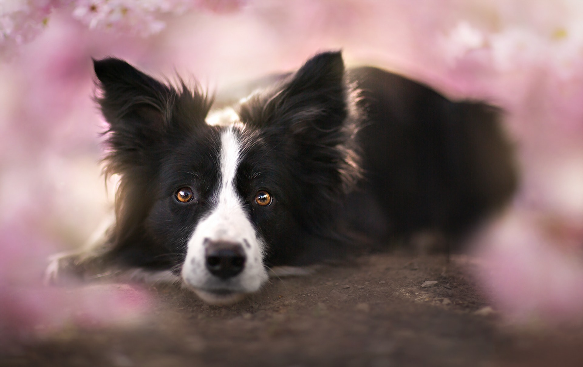 Border Collie For mobile