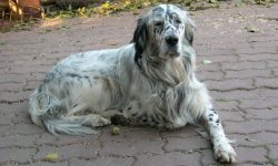 English setter Backgrounds