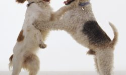 Fox Terrier Wallpaper
