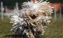 Komondor Pictures