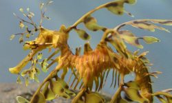 Leafy Seadragon Wallpaper
