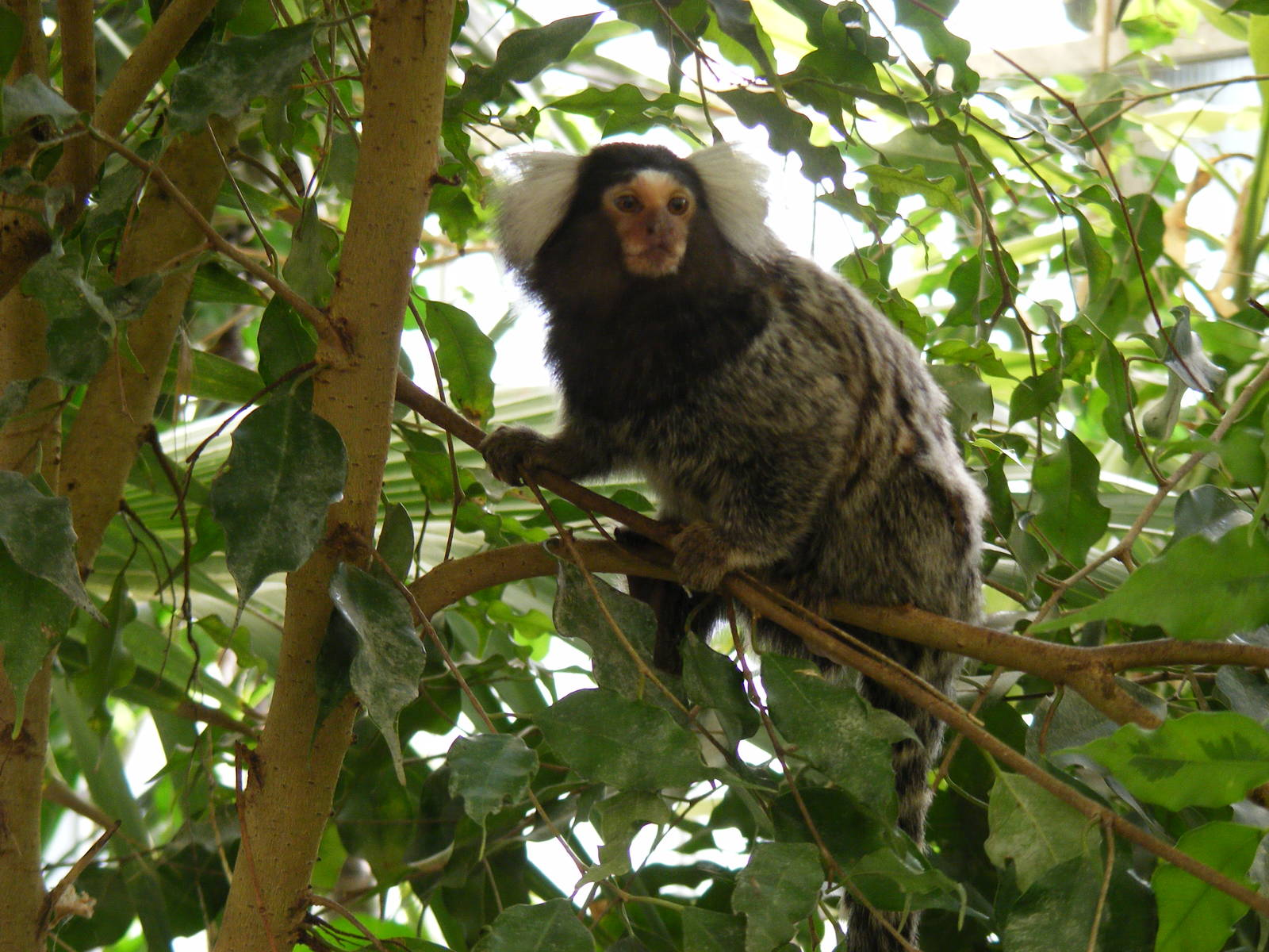 Marmoset monkey Wallpaper