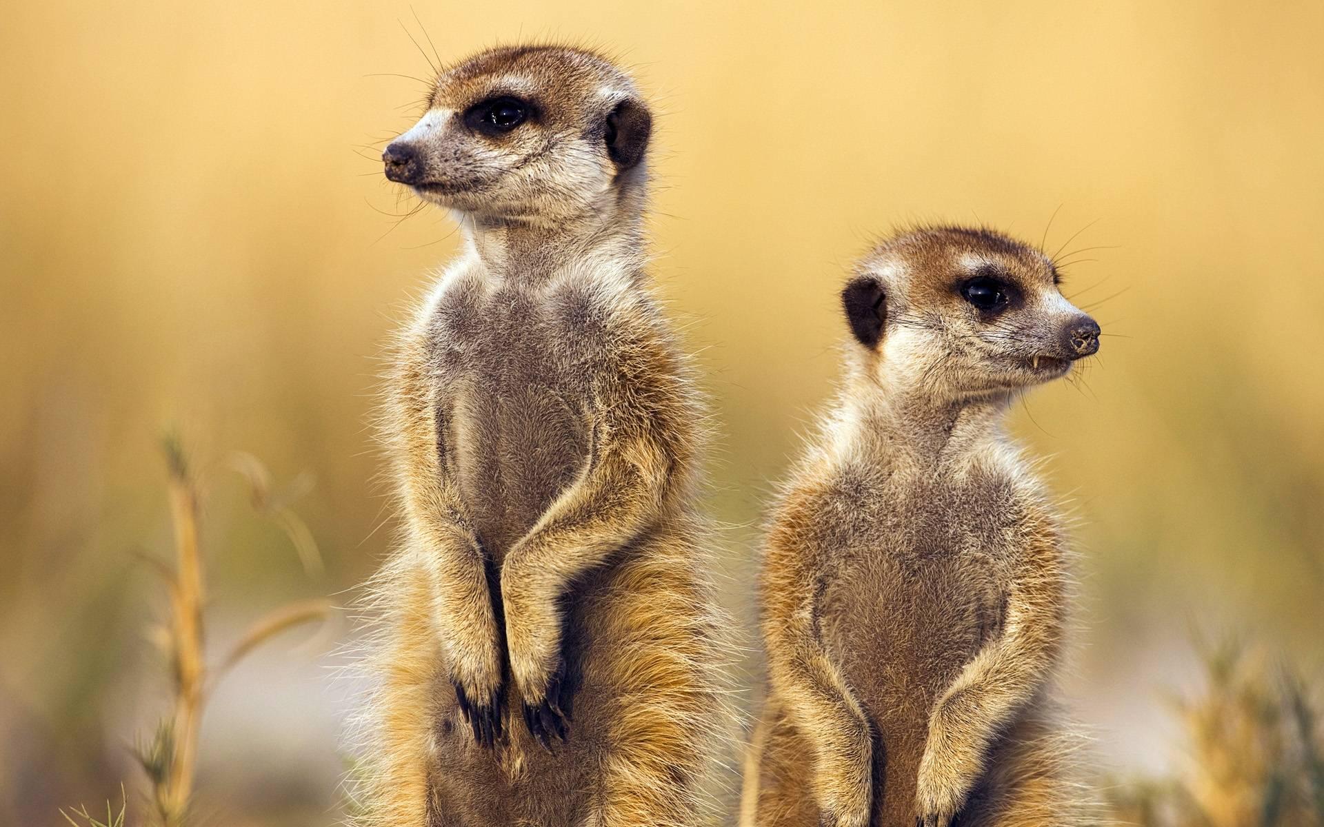 Meerkat Wallpaper
