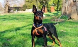 Miniature Pinscher Backgrounds