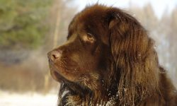 Newfoundland Dog Wallpaper