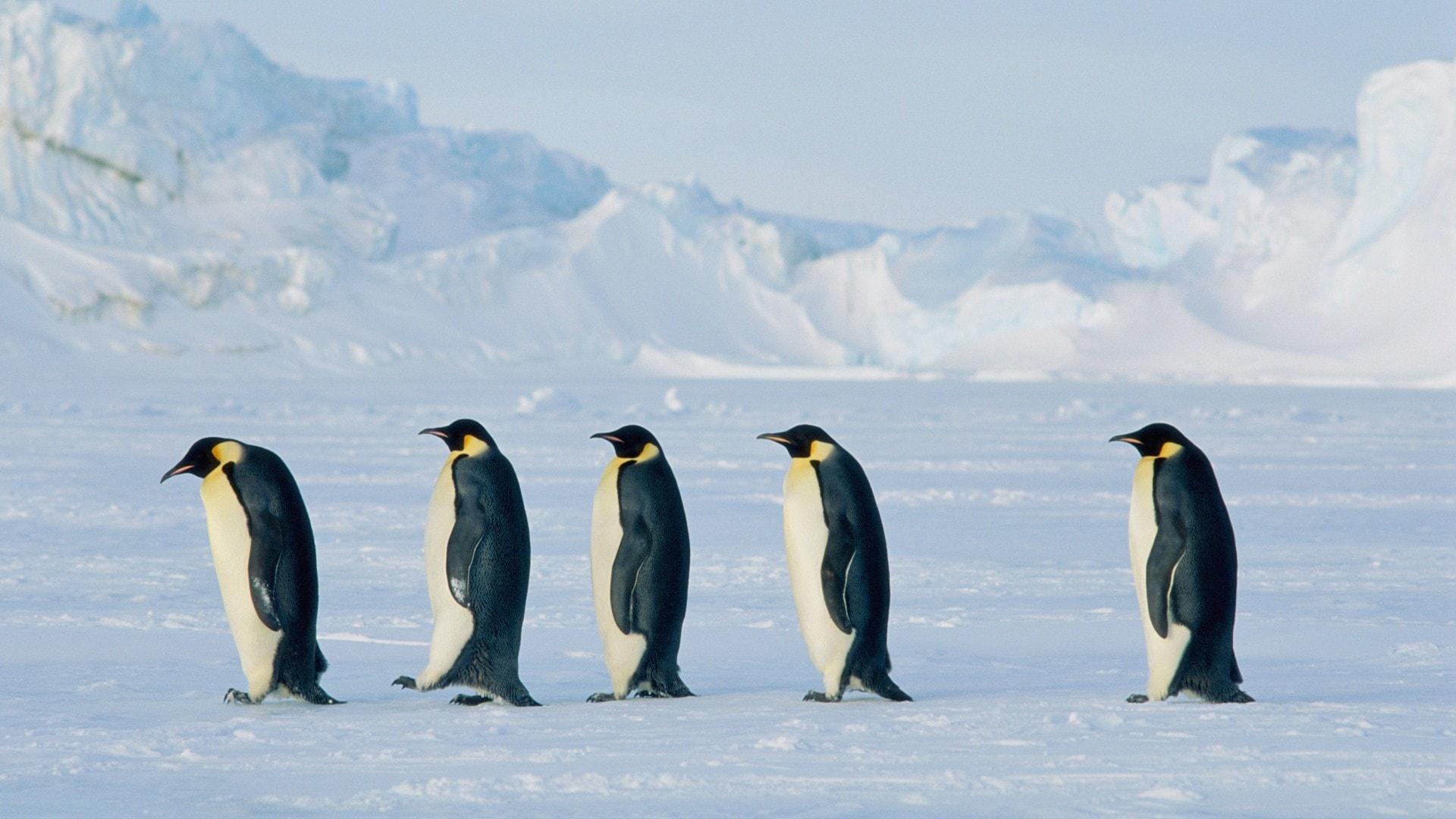 penguin hd wallpapers 7wallpapersnet