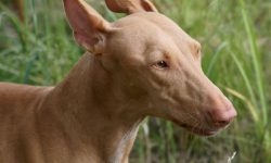 Pharaoh hound Wallpaper