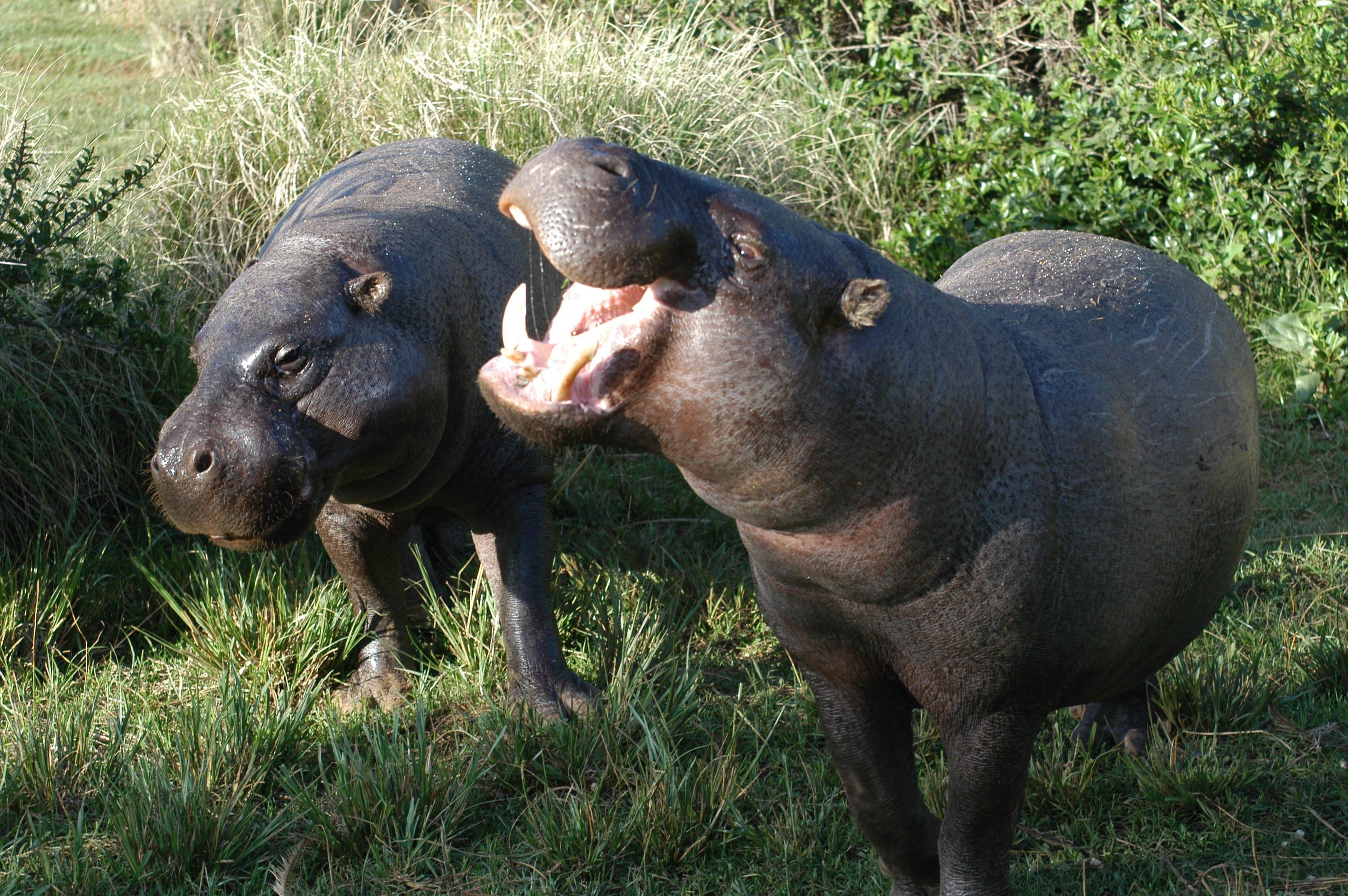 Pygmy hippopotamus Wallpaper