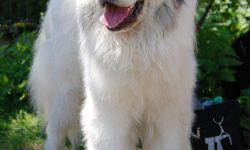 Pyrenean Mountain Dog For mobile