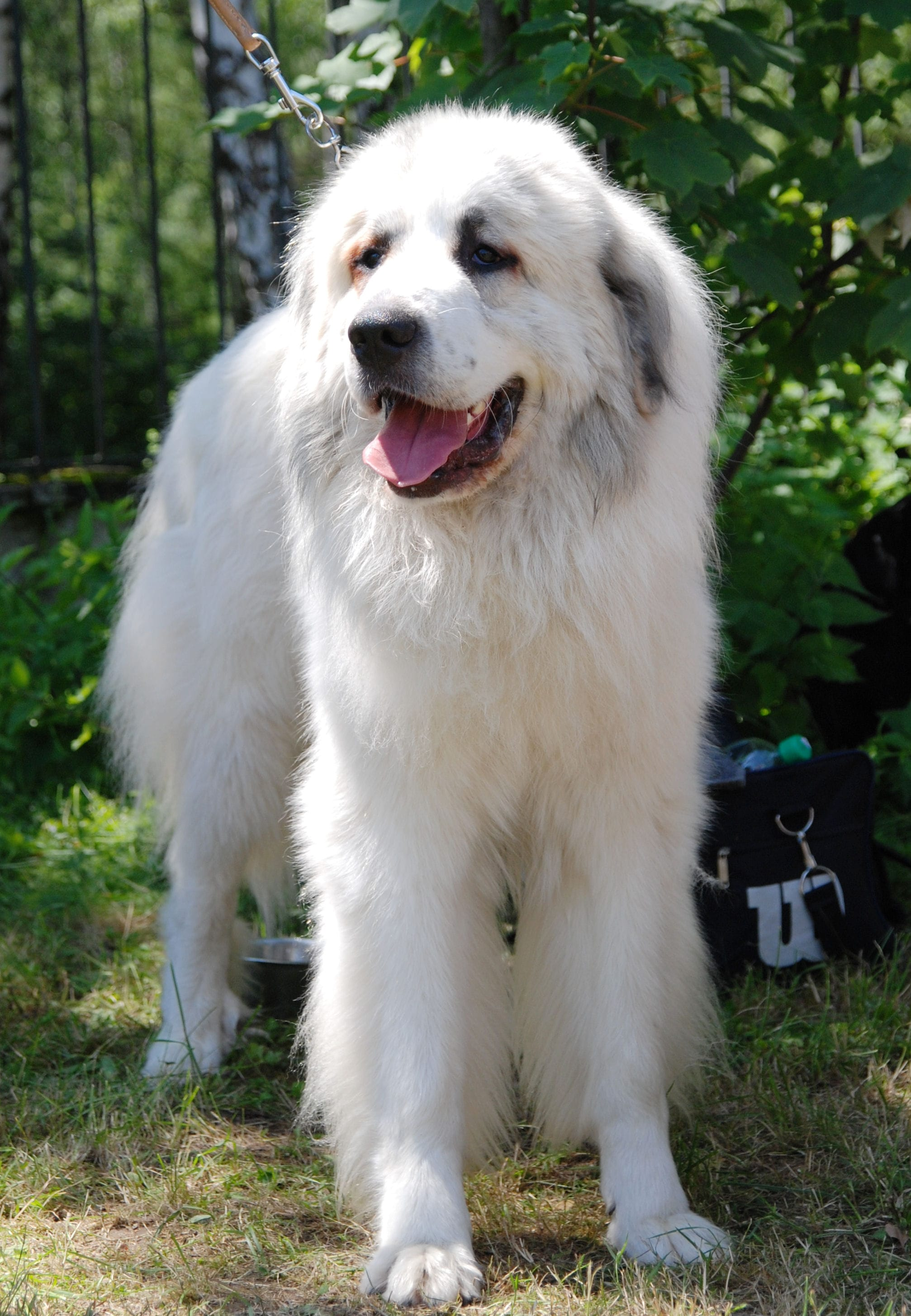 Pyrenean Mountain Dog For mobile