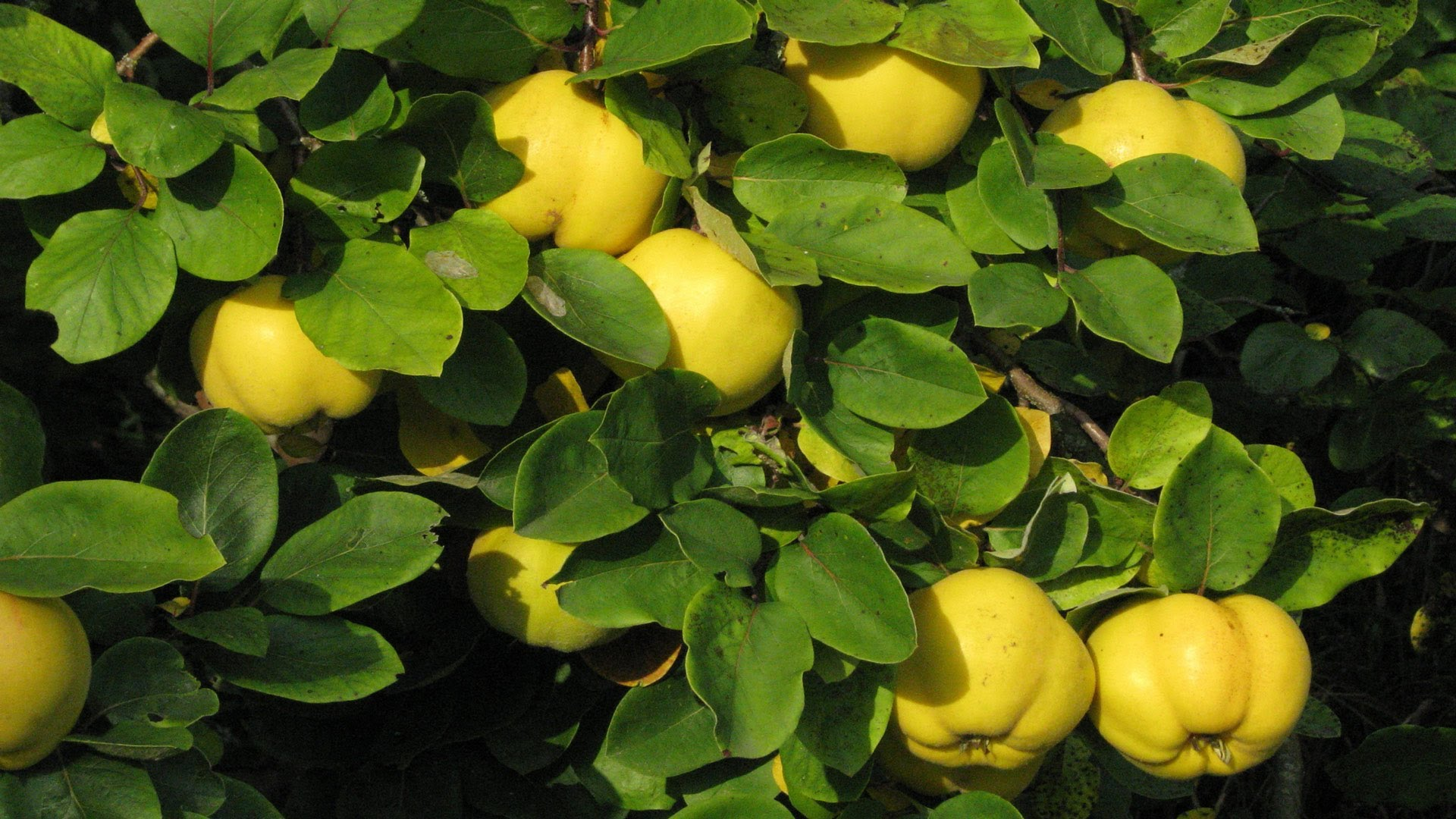 Quince Backgrounds Quince Wallpaper