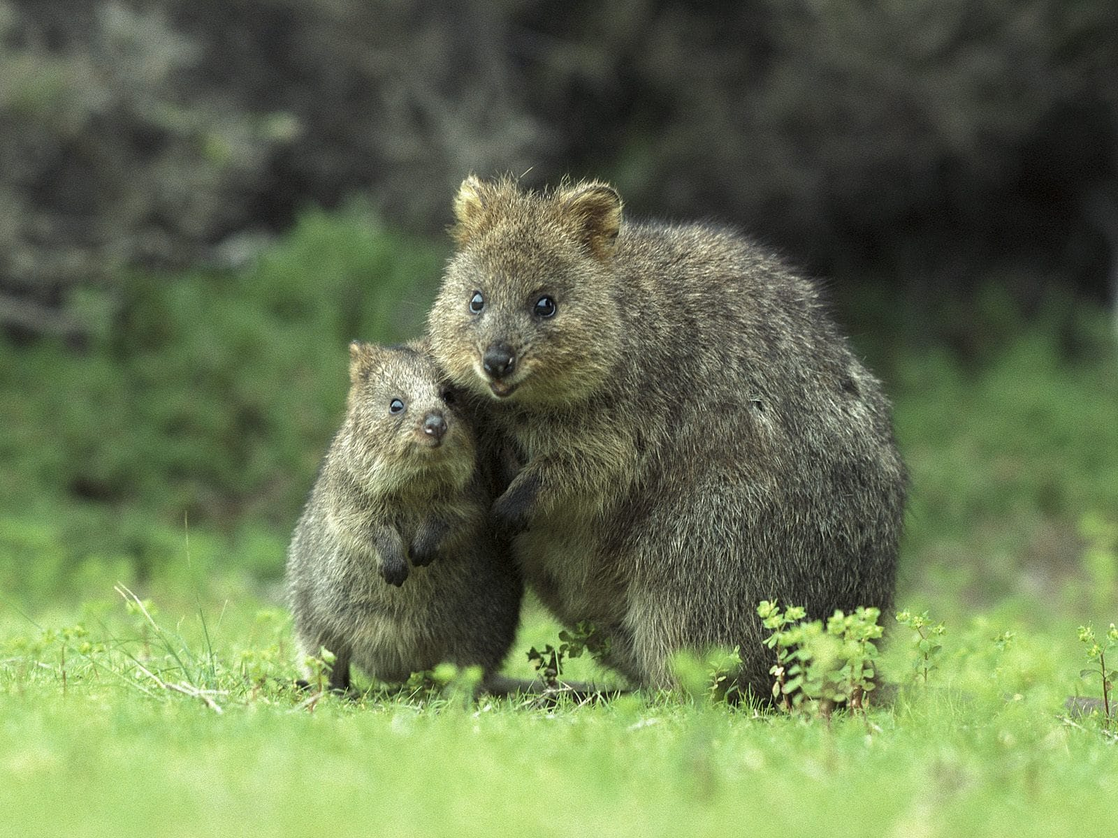 Quokka Wallpaper