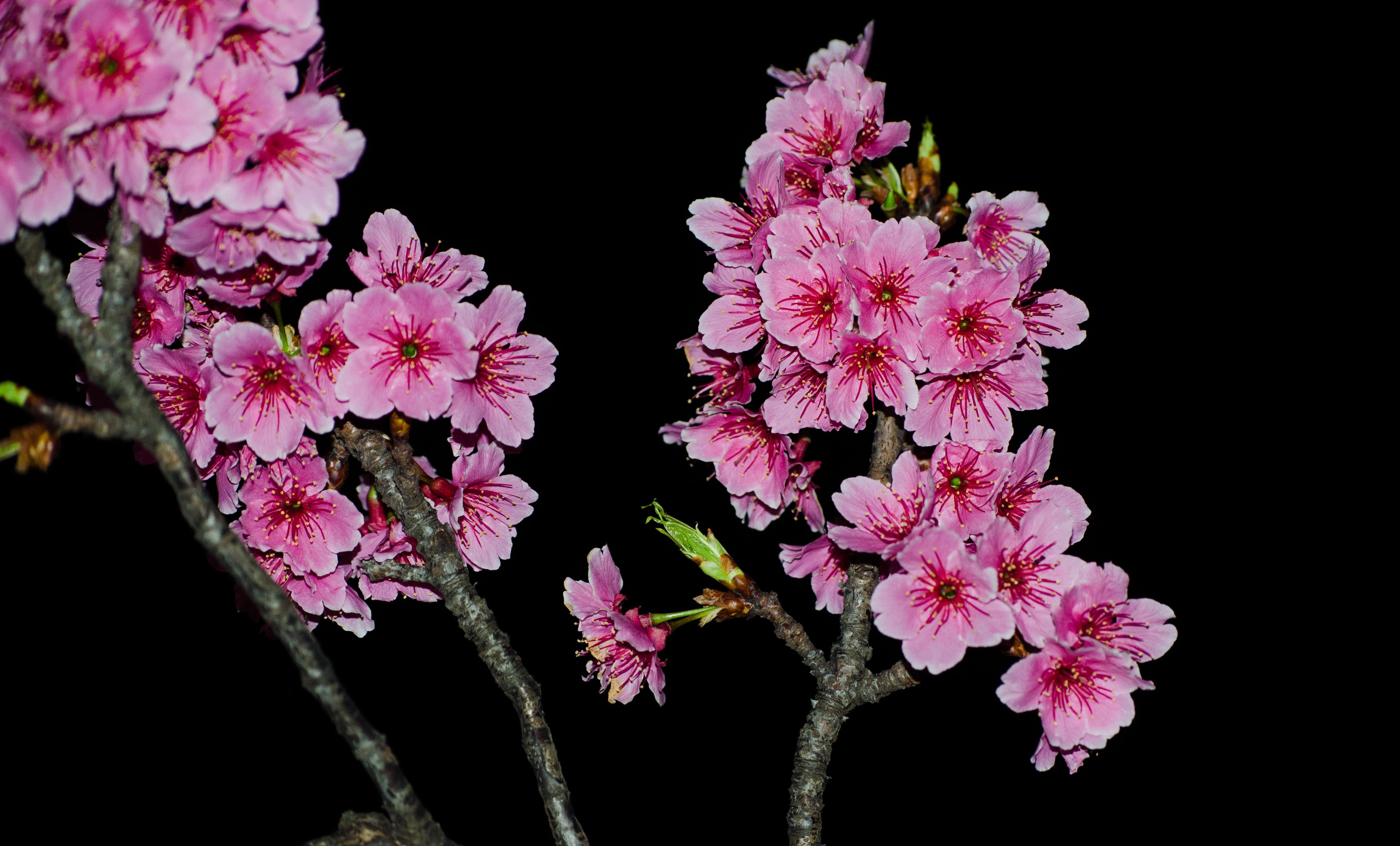 Sakura flower HD Desktop Wallpapers