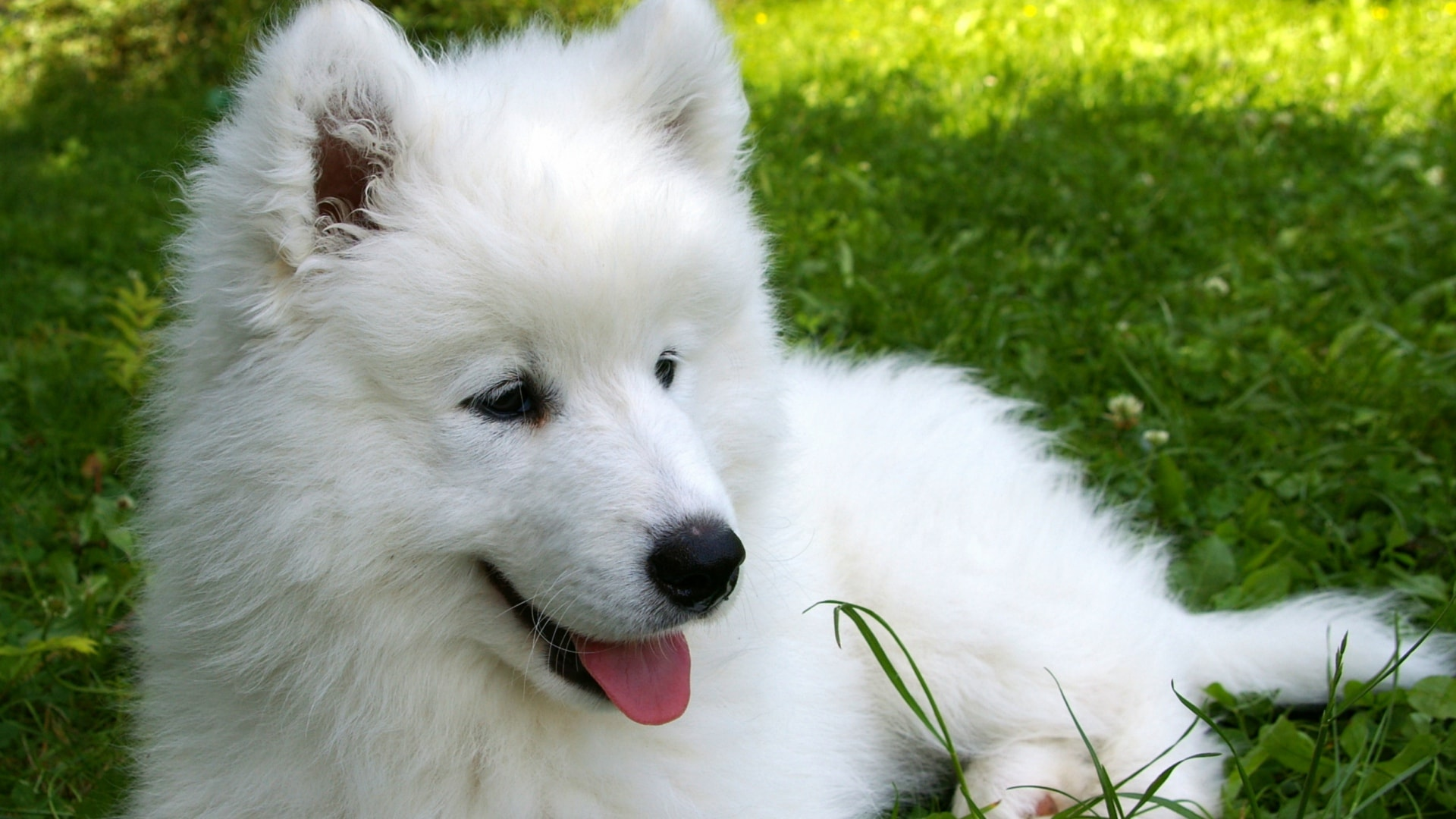 Samoyed Husky Wallpaper