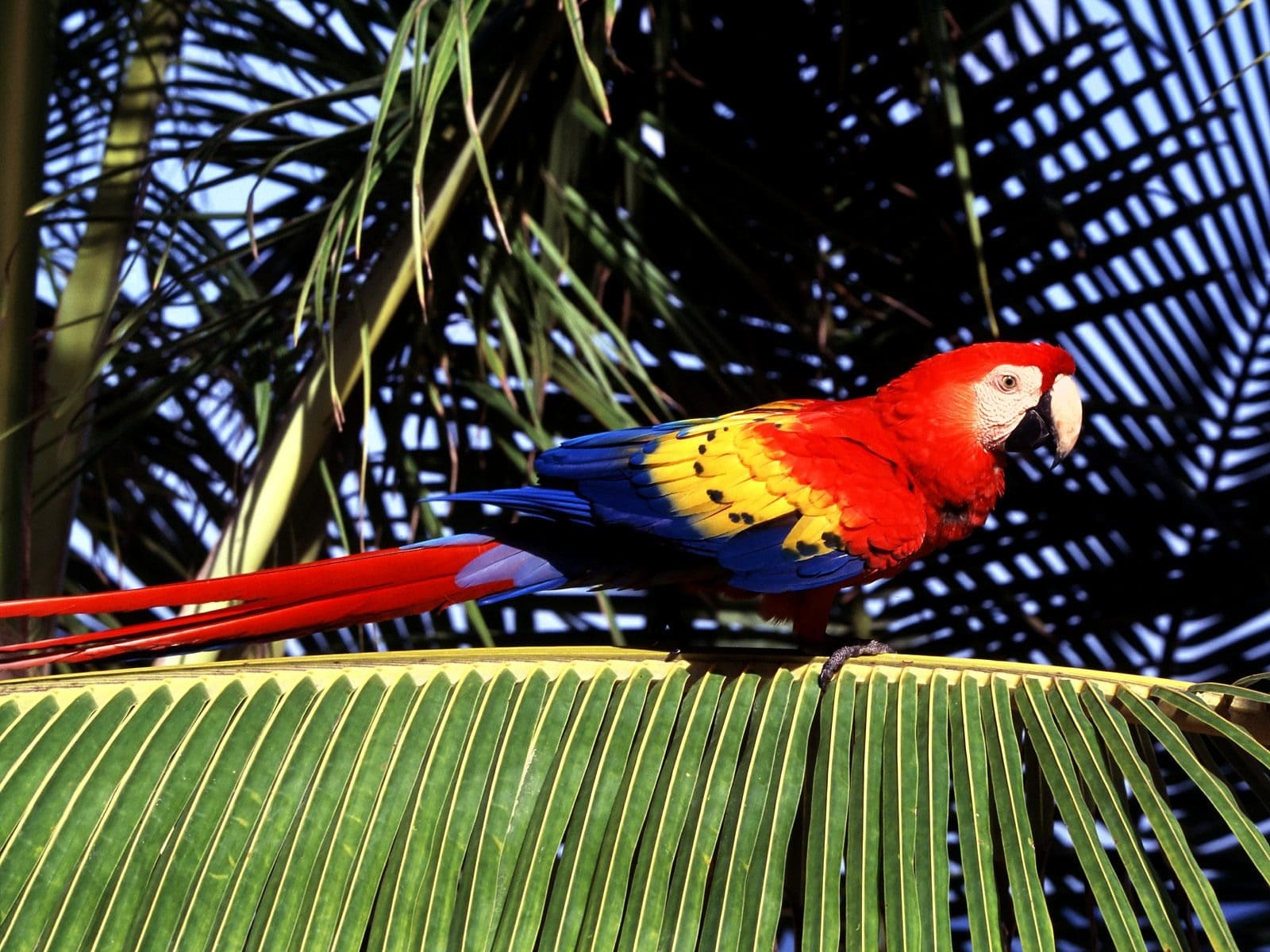Scarlet macaw Wallpaper