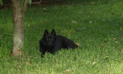 Schipperke Backgrounds