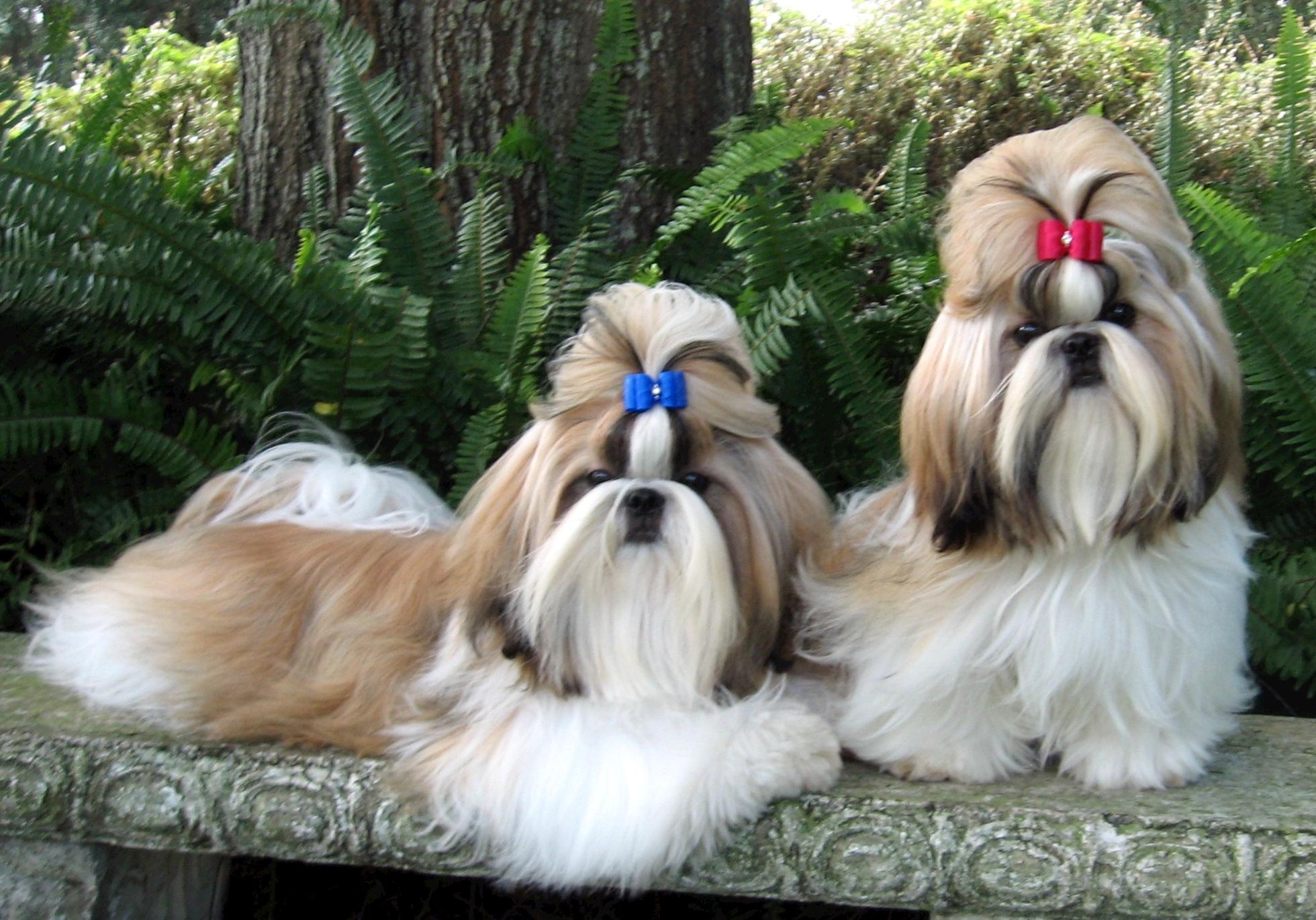 shih tzu puppy wallpapers