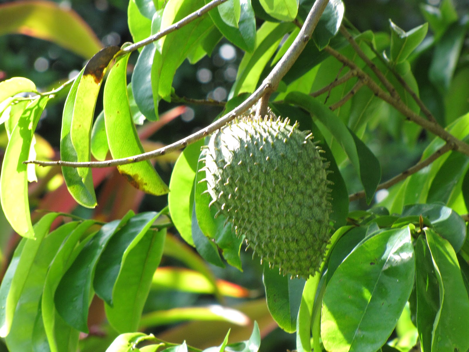 Soursop Wallpaper