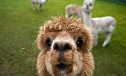 Alpaca HD pictures