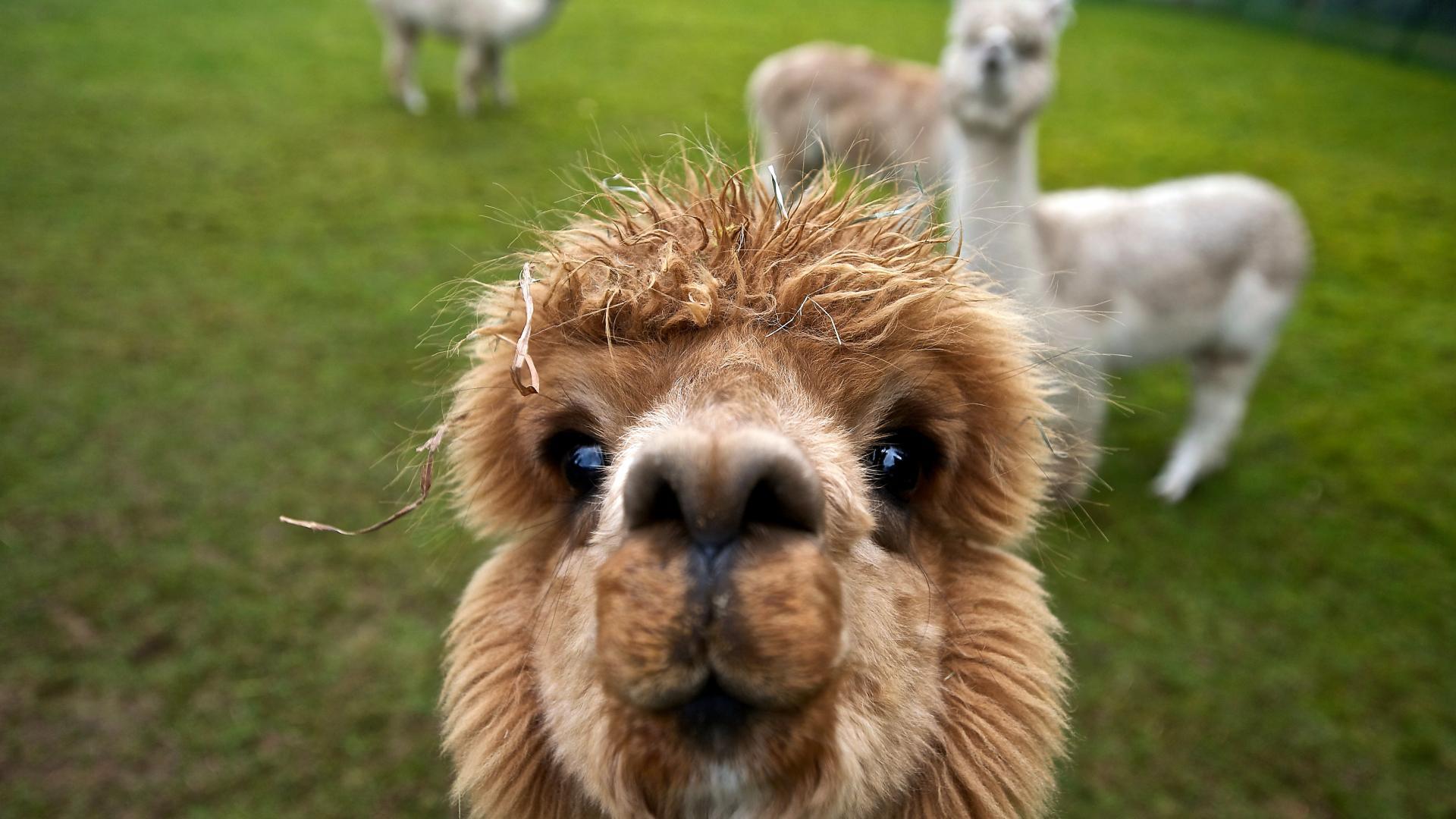 Alpaca HD pictures