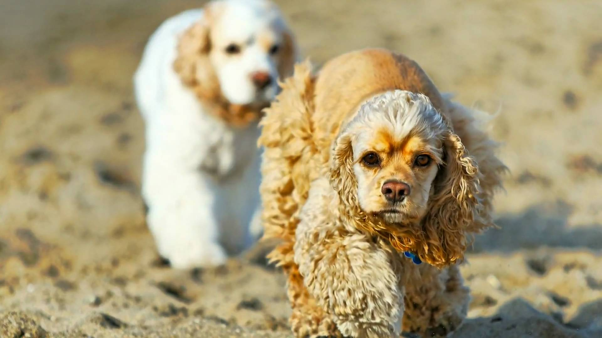 American Cocker Spaniel HD pictures