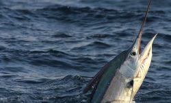 Atlantic sailfish HD pictures