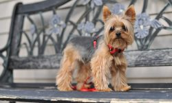 Australian Silky Terrier HD pictures
