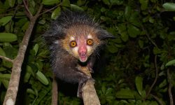 Aye-aye HD pictures