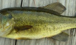 Bass Wallpaper