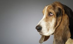 Basset HD pictures