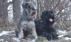 Black Russian Terrier Full hd wallpapers