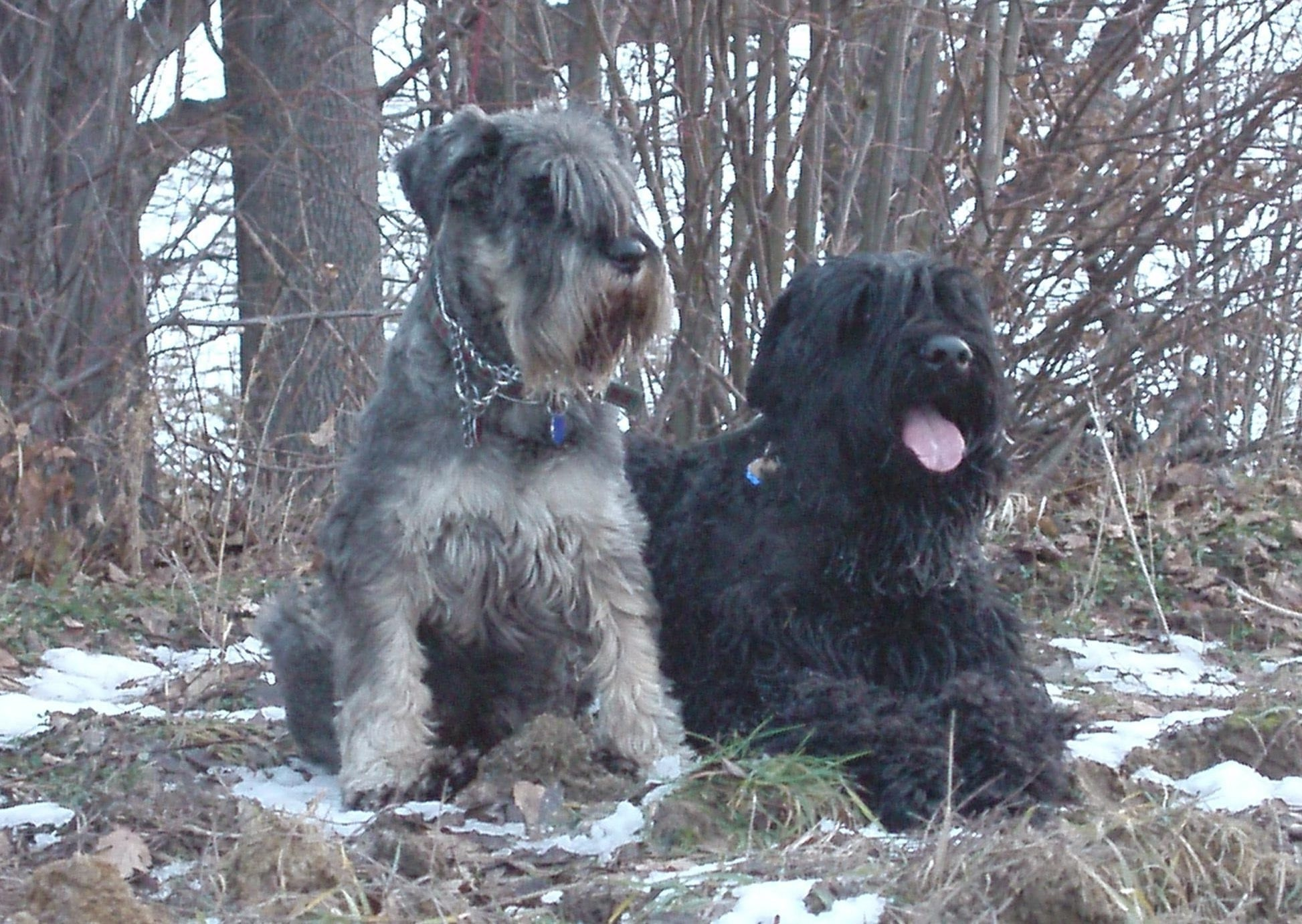 Black Russian Terrier Full hd wallpapers