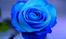 Blue Rose HD pictures