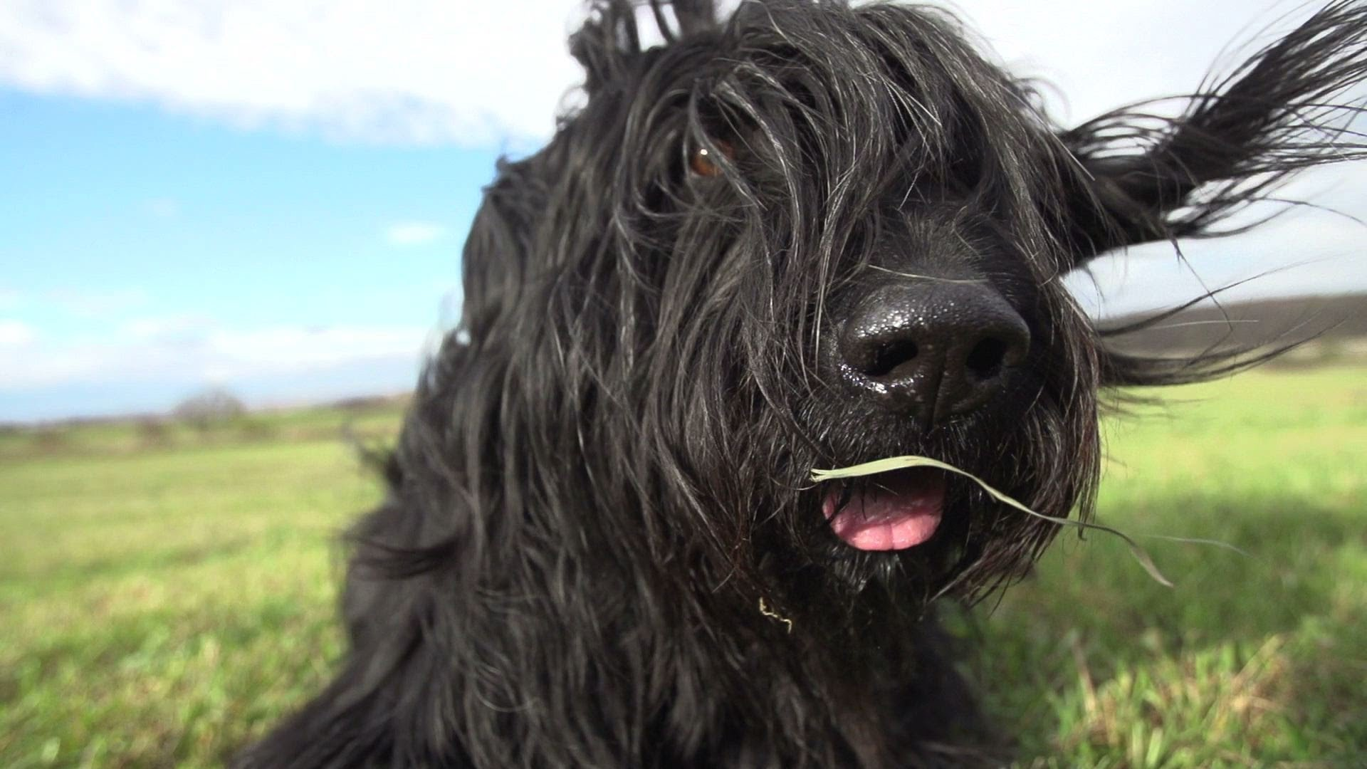 Briard HD pictures