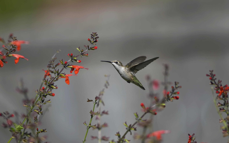 Colibri HD pictures