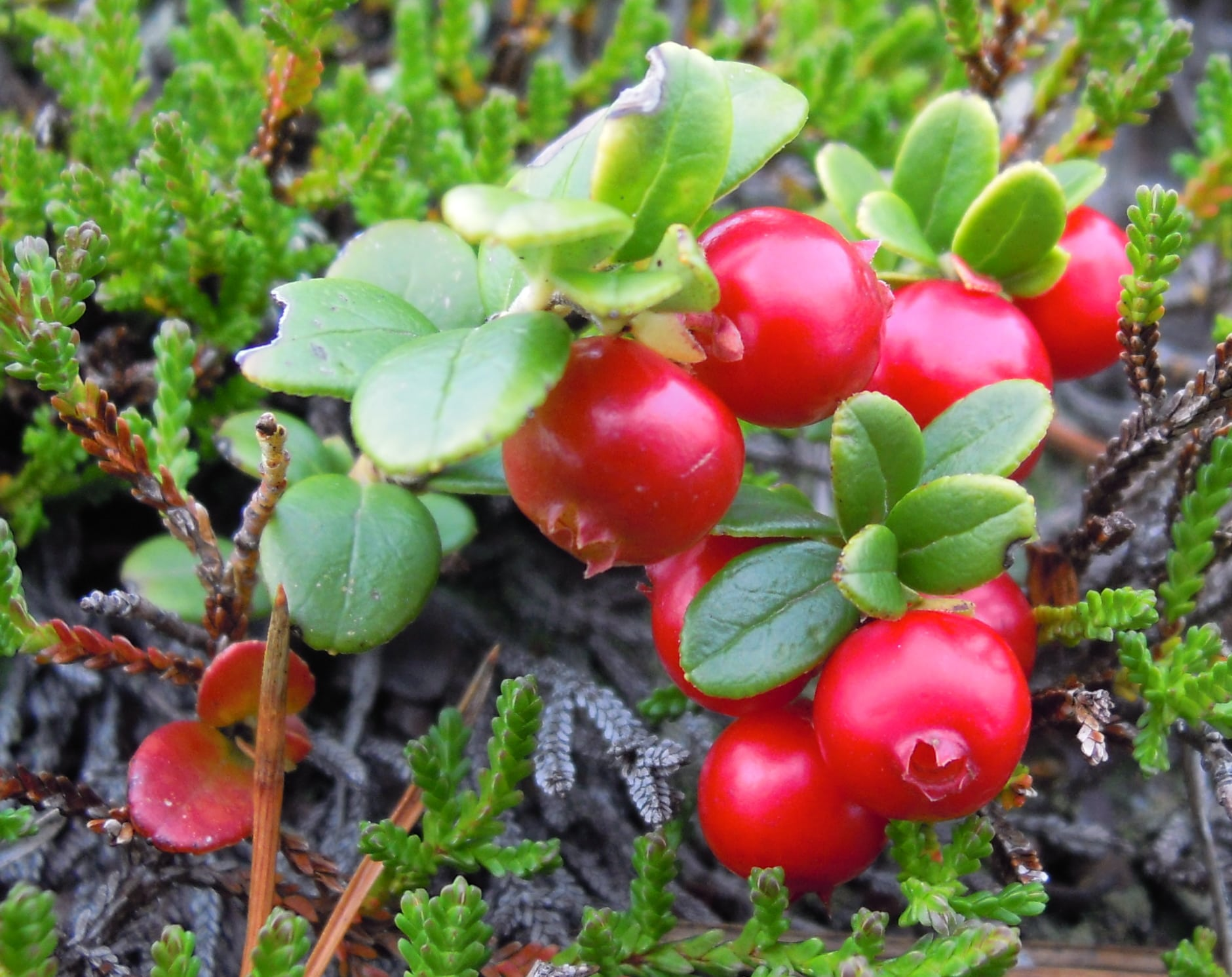 Cowberry full hd wallpapers