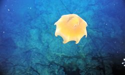 Dumbo Octopus HD pictures
