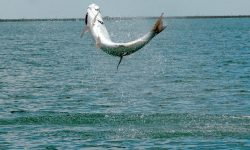 Fighting tarpon HD pictures