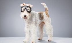 Fox Terrier HD pictures