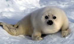 Harp seal HD pictures
