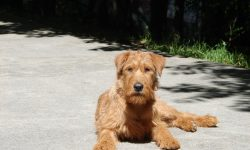 Irish Terrier HD pictures