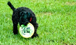 Kerry Blue Terrier HD pictures